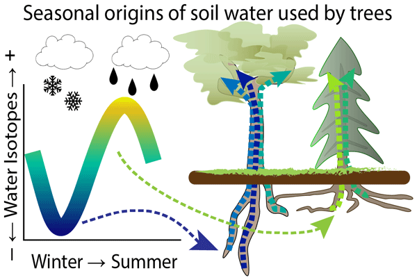 HESS - Seasonal origins of soil water used by trees